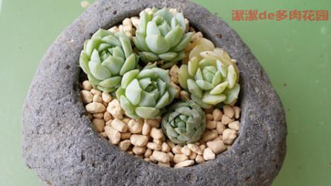 韩国多肉植物搭配图片