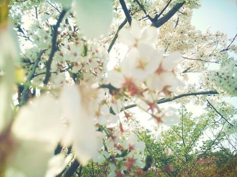 日,阳光甚好,樱花甚美
