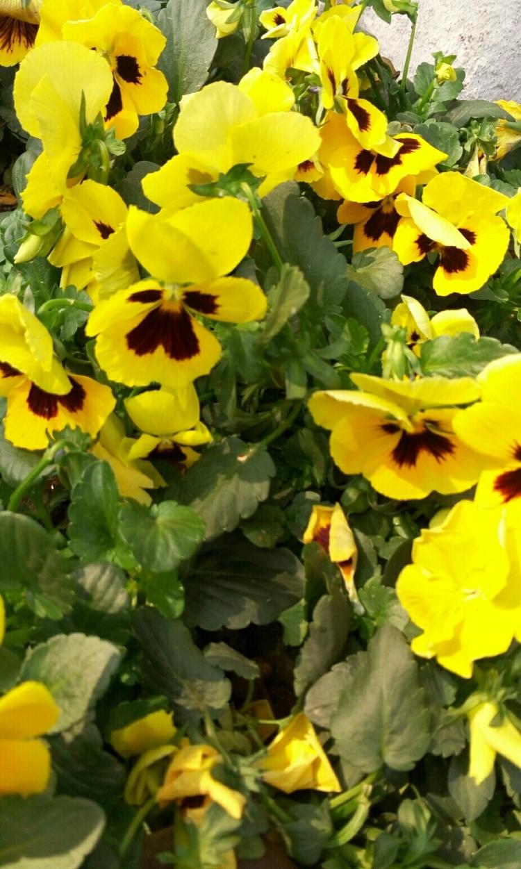 春天的小黄花