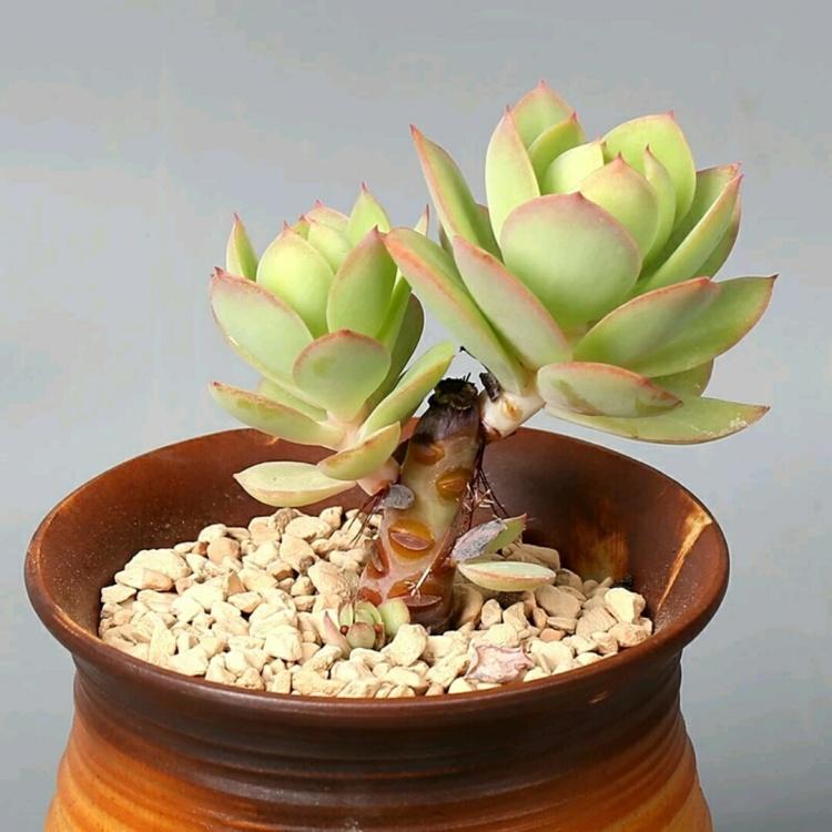 【爱肉家_碧桃老桩】进口多肉植物室内盆栽盆景绿植出色状态佳小老桩2