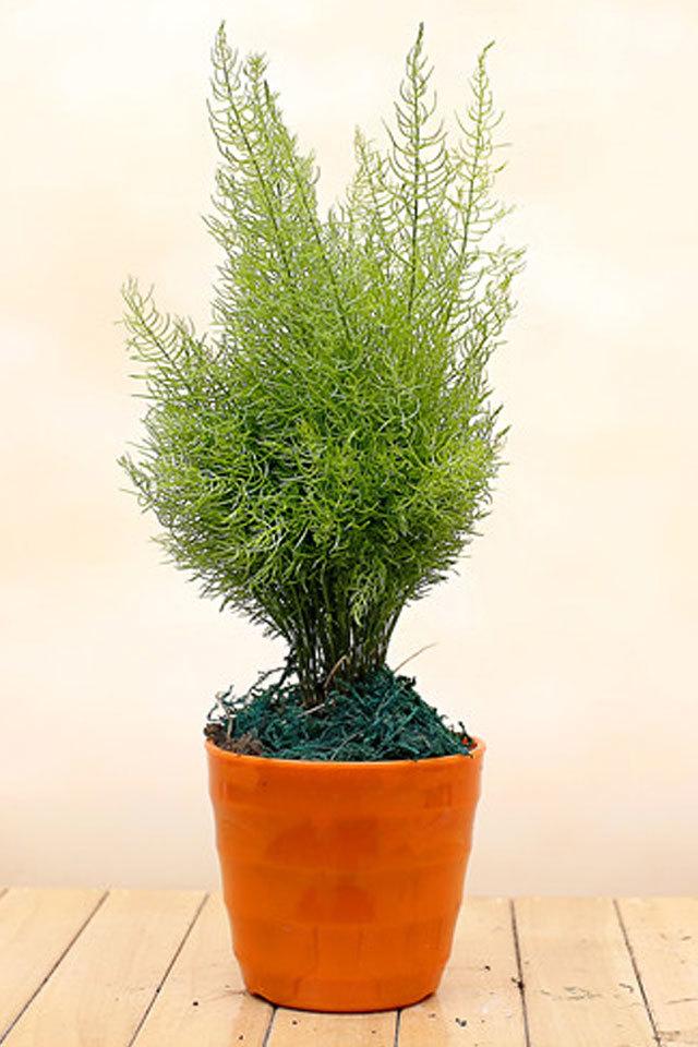 健康树红豆杉树苗 盆景盆栽绒松盆景绿植除甲醛吸雾霾