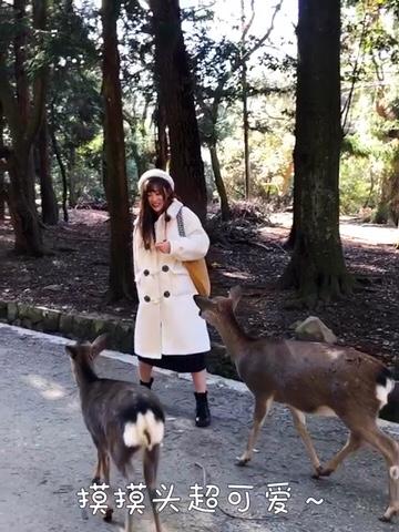 #春季少女心炸裂大赛#【萌鹿在此!奈良小鹿攻略】 第二次去奈良了,这次是一人🌸日本自由行,很多要分享的干货呢,今日先来说说奈良喂小鹿怎样不被咬、顶、踢🦶 【穿搭】内搭是大阪买的natural beauty家的连衣裙 外套因为还有一些冷,带去的阔色羊羔绒大衣派上了用场,少女心炸裂的搭配回头率很高哦! 🦌Tips: 1️⃣鹿饼一次买两沓,买完迅速放包里,要一个个拿出来,不然小鹿会一直跟着。 2️⃣喂完之后要摊开双手让它看到真的没有了,它才会缓缓离开。 3️⃣喂之前示意它鞠躬,小鹿会很萌很乖~ 4️⃣摸摸头和背OK的 但是试图亲嘴嘴容易被咬[笑哭R] 5️⃣注意投喂鹿仙贝收手不要太慢,有游客被咬手打疫苗的事件哦~! 🌸旅途中迎接新年是一件浪漫又美好的体验,更多省钱自由行攻略这几天我会陆续po🌸
